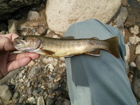 ヒレピンの岩魚