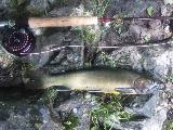 38cmの岩魚