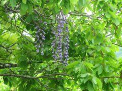 藤の紫色の花はそこかしこに咲いている