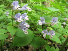 ラショウモンカズラの花