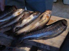 実川で釣れた放流イワナ