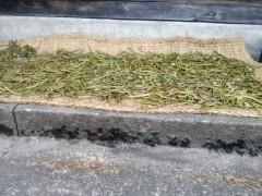 ゼンマイの乾燥