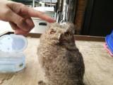 横川のさとにいたフクロウの子供