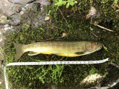 25cmの源流岩魚