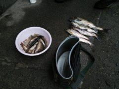 七入の常連O氏が釣って来たイワナと山女魚