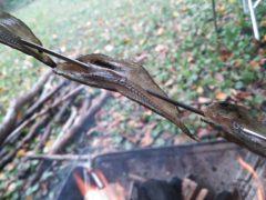 キャンプでハゼの干物を焚き火で焼く