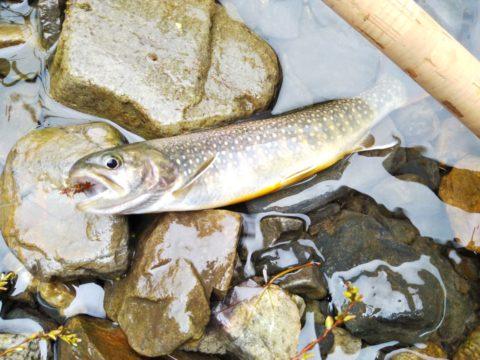 ヒレピンの南会津の岩魚