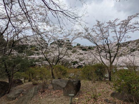 駐車場の桜が見頃でした