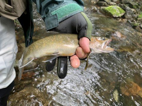 尺岩魚。メジャーで測ると32cm