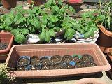 肥料袋に植えられたジャガイモ