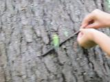 ひっくり返ったセミを近くの木に移す